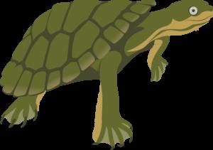 Manning River Turtle