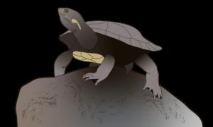 Hunter River Turtle